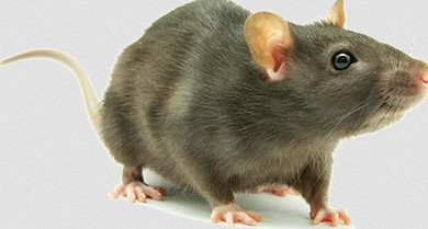 5 Reasons You Must Know Why Rats Love Your House before Calling Sydney's Rat Control Service